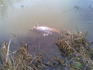 Vissen In Vijver : Midden nederland tientallen vissen dood in vijver